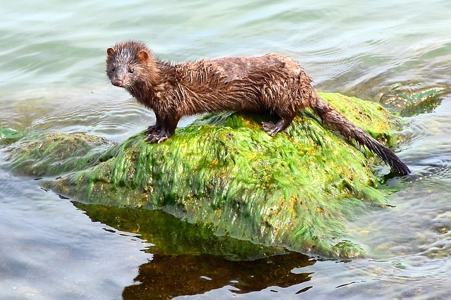 *New job vacancy* – Lead Project Officer Norfolk: GRCF Restoring biodiversity: building a mink-free East Anglia