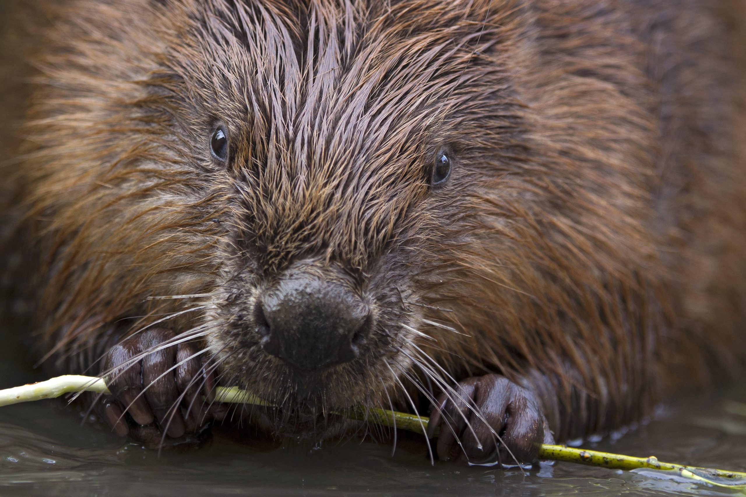 Glaven Beaver Project: crowdfunder launched