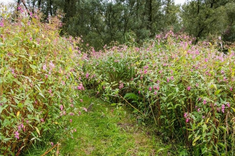 Wensum balsam project – call for sightings